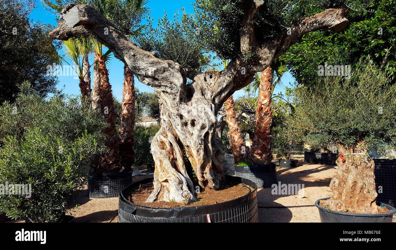 alte Olivenbaeume, die zum Verkauf in einer Gaertnerei angeboten werden, Mallorca. - Stock Image
