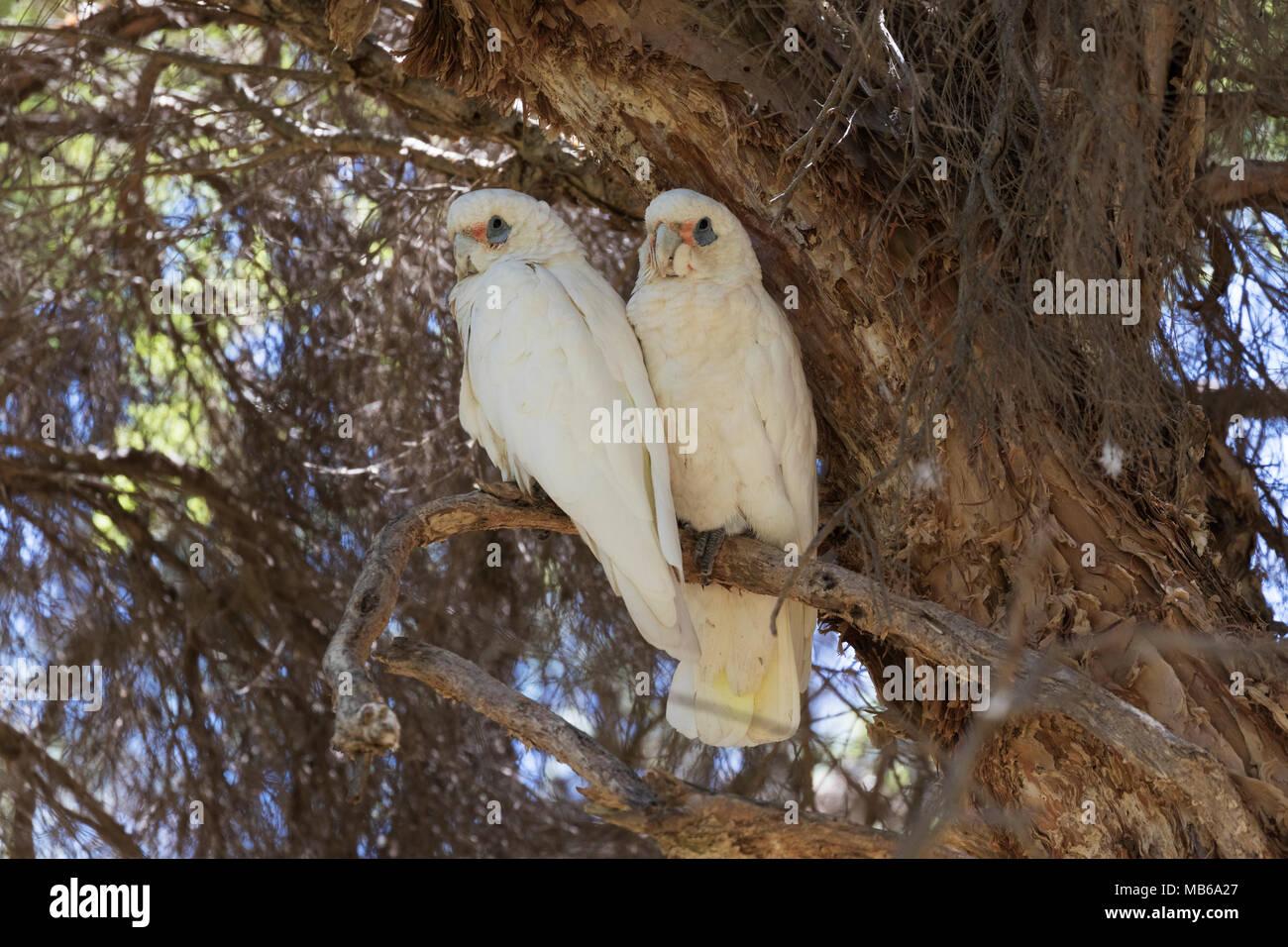 A pair of Little Corellas (Cacatua sanguinea) in Neil Hawkins Park, Lake Joondalup, Western AustraliaLittle Corella (Cacatua sanguinea) - Stock Image