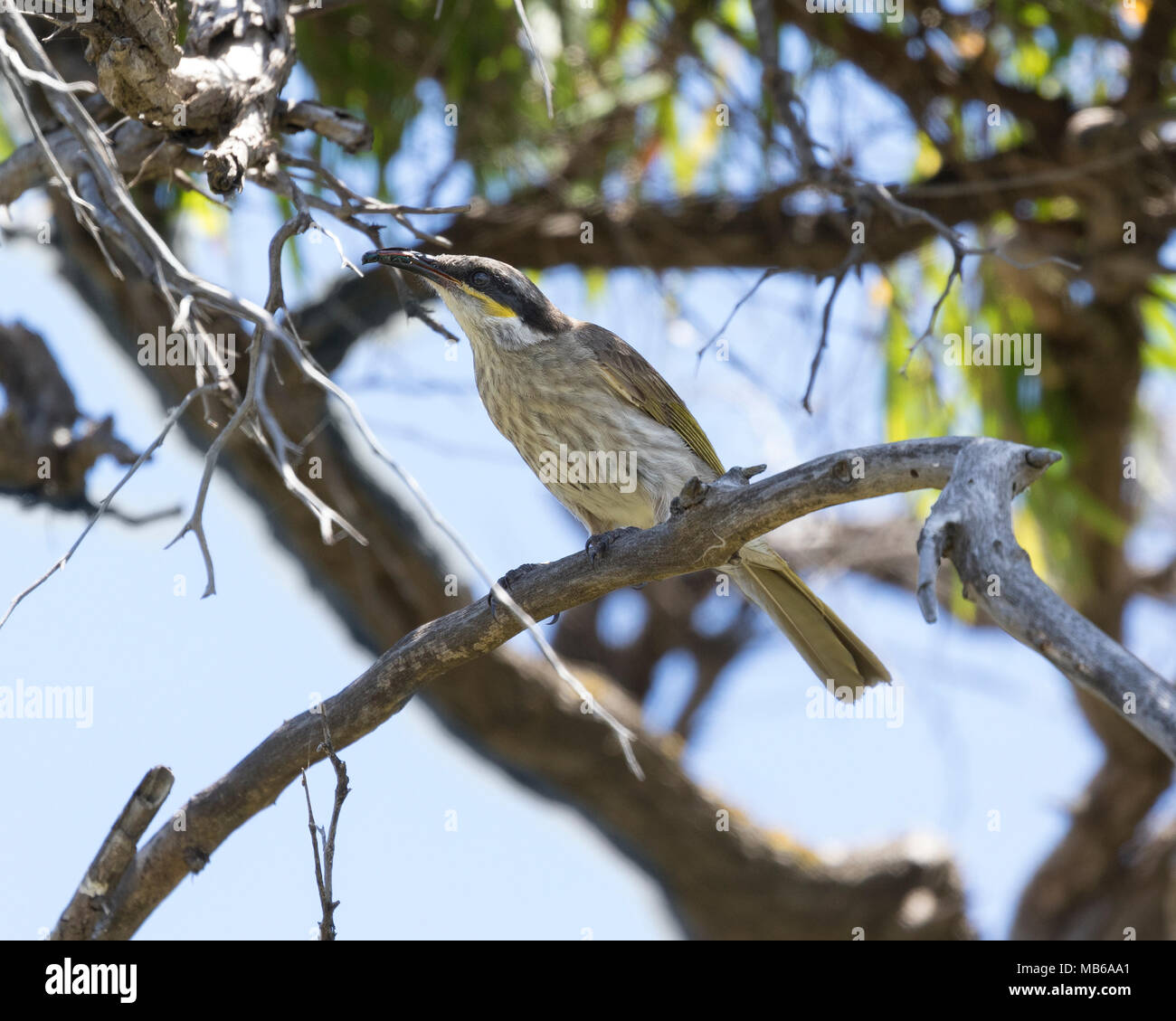 A Singing Honeyeater (Gavicalis virescens) with insect prey in its beak, on Penguin Island, offshore from Rockingham, Western Australia - Stock Image