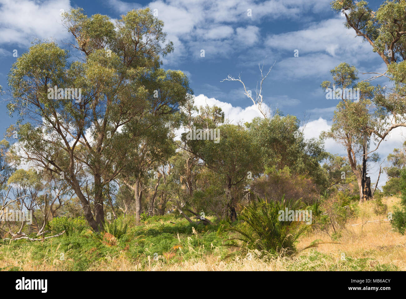 Bush-land beside Lake Joondalup, in the Yellagonga Regional Park, Perth, Western Australia - Stock Image