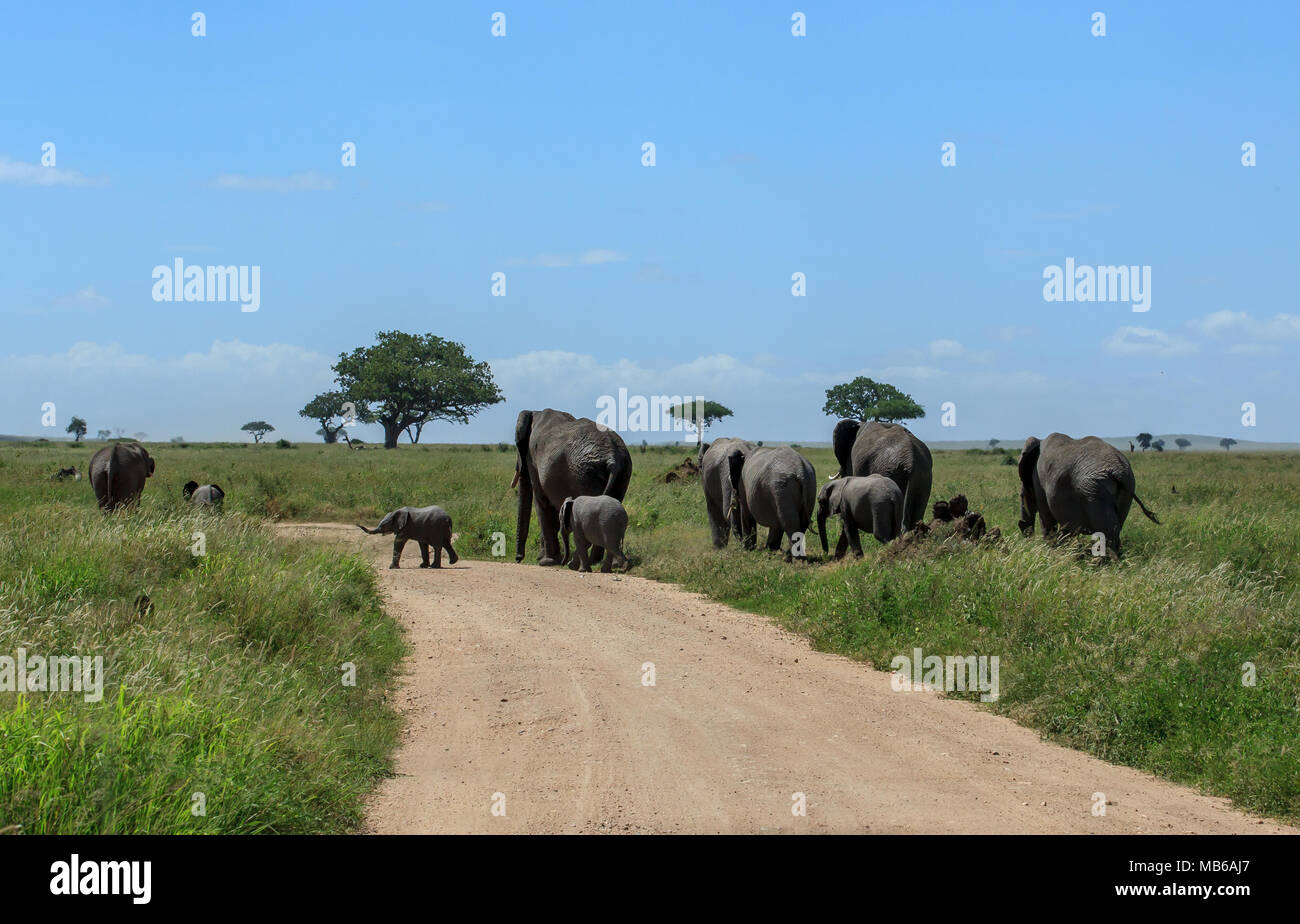 A herd of African elephants crossing the dirt road in the Serengeti - Stock Image