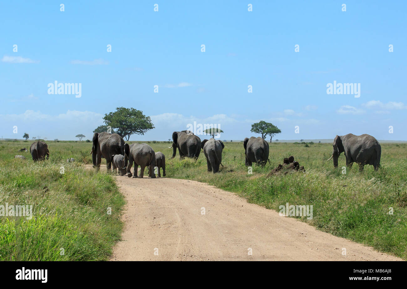 A herd of African elephants crossing the dirt road in the Serengeti Stock Photo