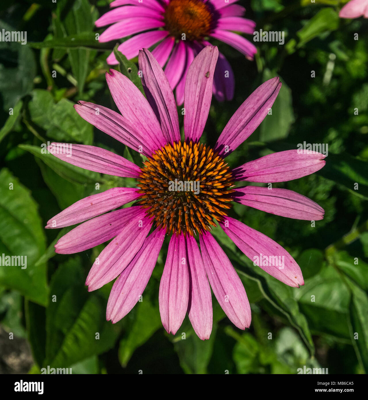 Purple Coneflower cultivated in commune of Bozouls, Aveyron, France - Stock Image
