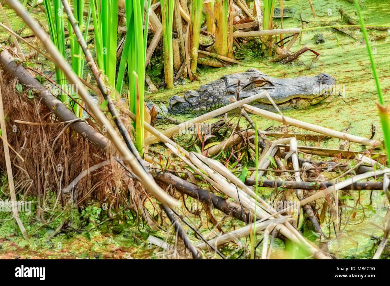 small alligator at gator lake in st. andrews state park, panama city florida - Stock Image