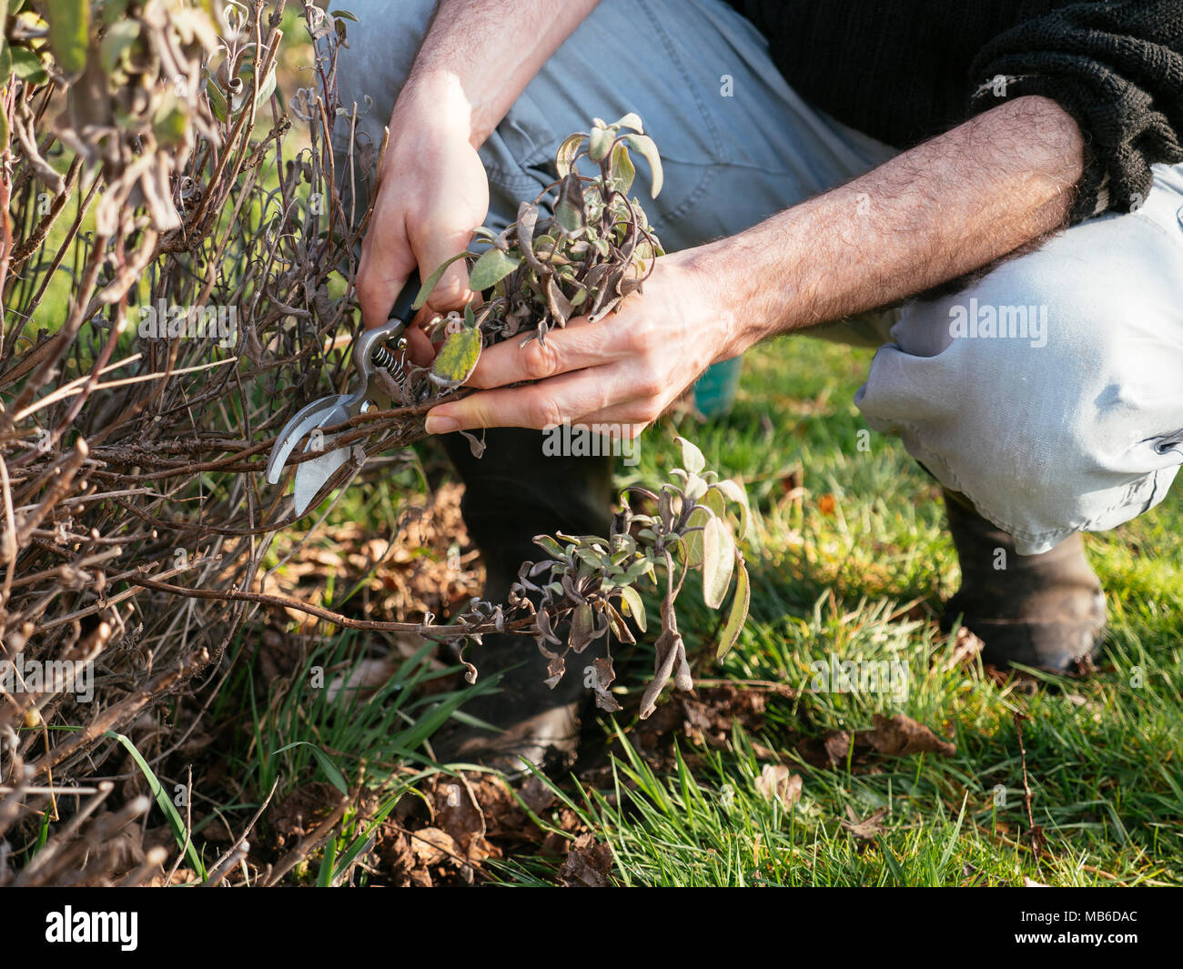 Gardner pruning herbaceous salvia in early spring. - Stock Image