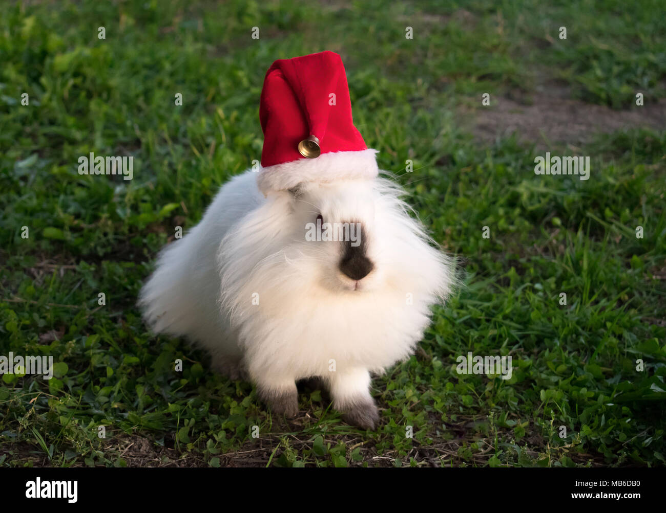 Lionhead Rabbit Stock Photo
