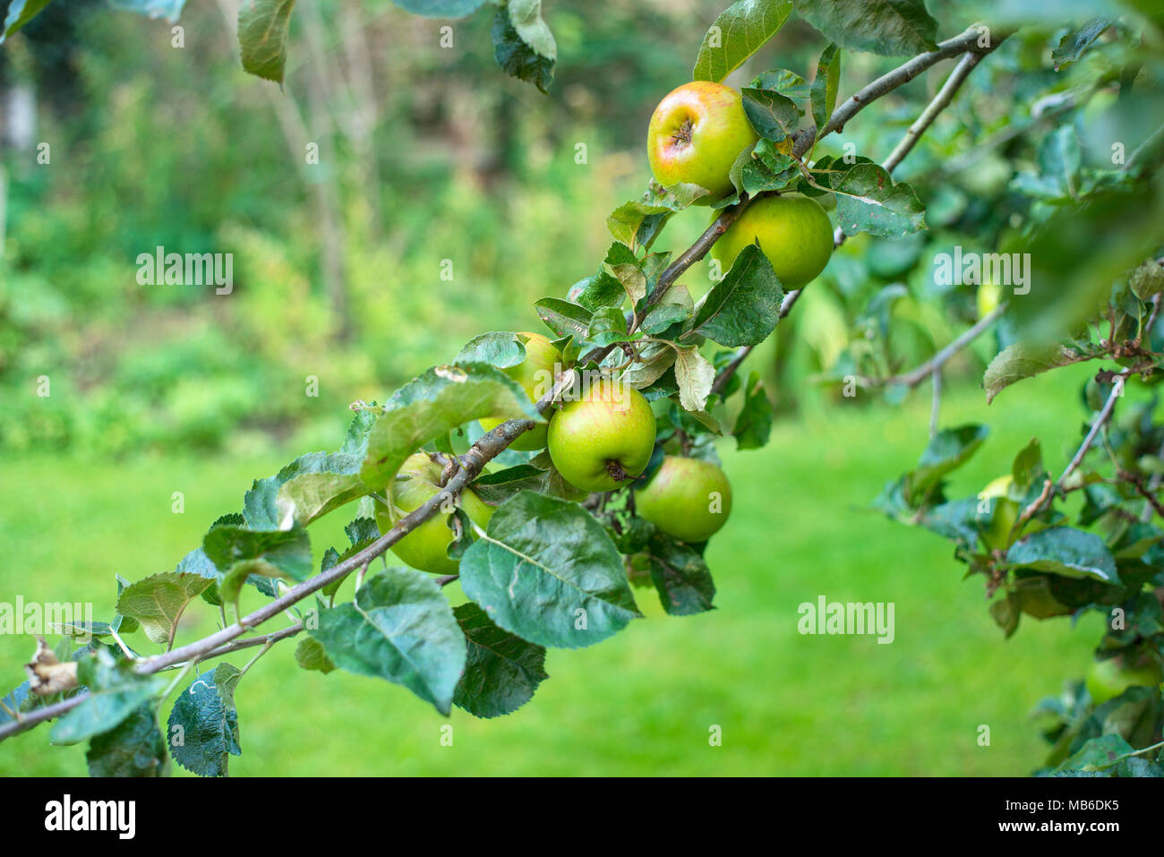 A branch of a Bramley apple tree (Malus domestica) with mature fruit - Stock Image