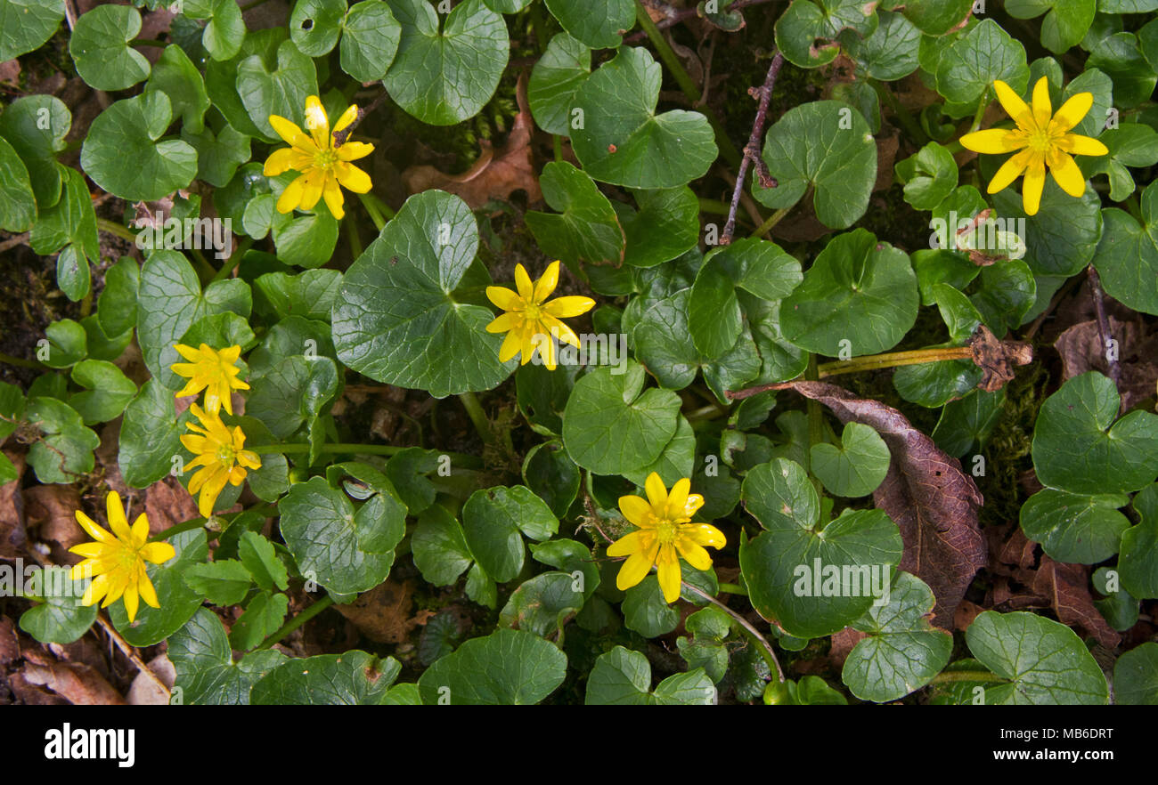 Yellow Flowers And Heart Shaped Leaves Of Lesser Celandine Stock
