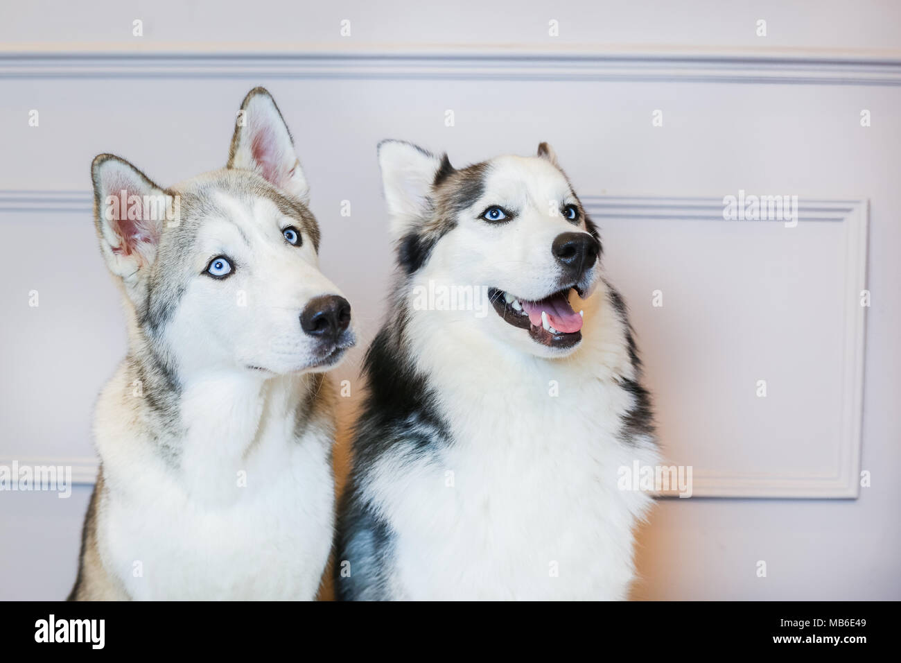 Husky Dogs in a studio with a grey background - Stock Image