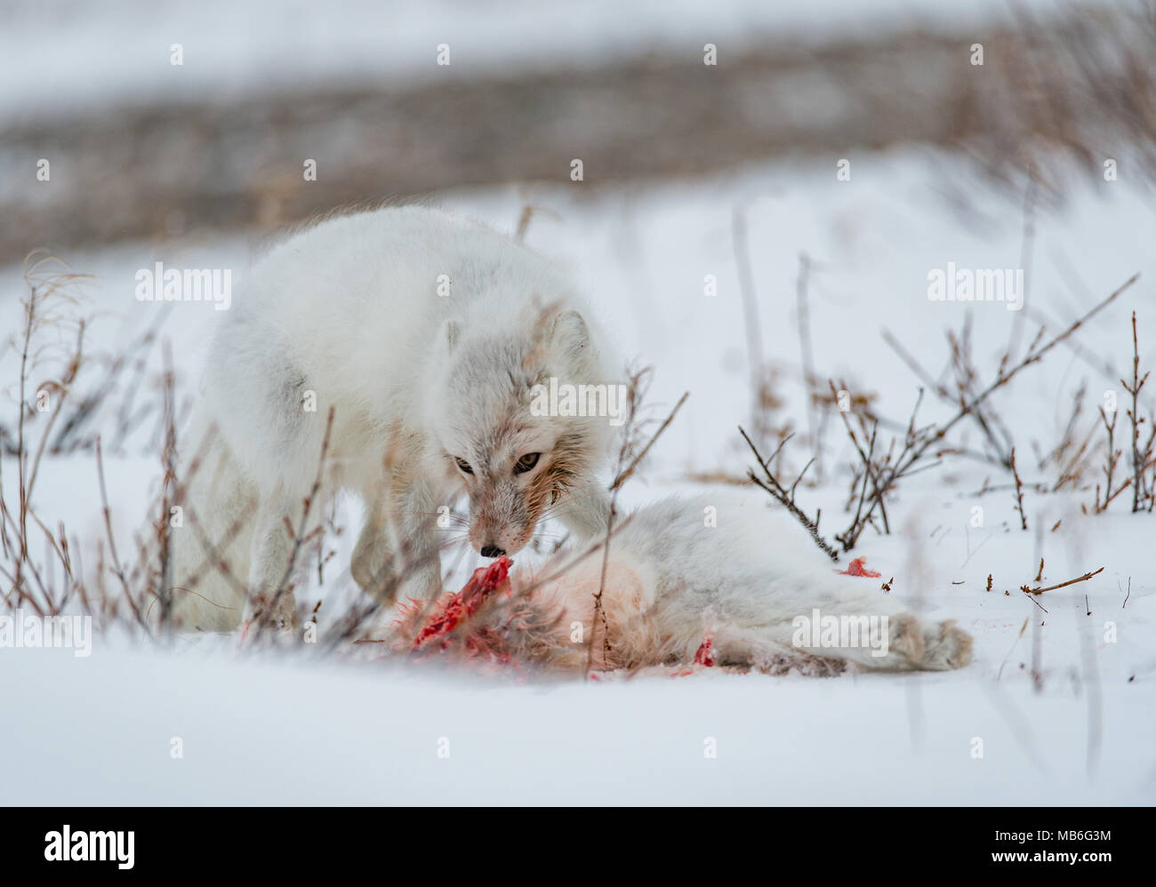 Cannibalism. Arctic Fox eating another Arctic Fox. - Stock Image