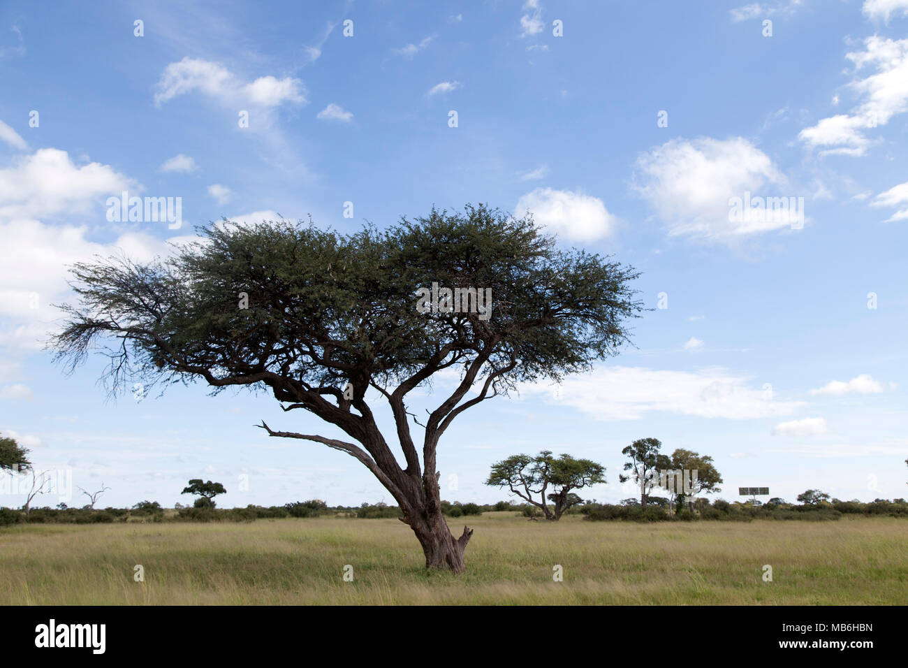 Acacia tree in Hwange National Park in Zimbabwe. Acacias are also known as wattles. - Stock Image