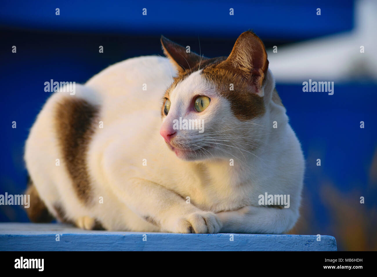 close-up green eyes of domestic cat in Indonesia.  we call it 'KUCING KAMPUNG' - Stock Image