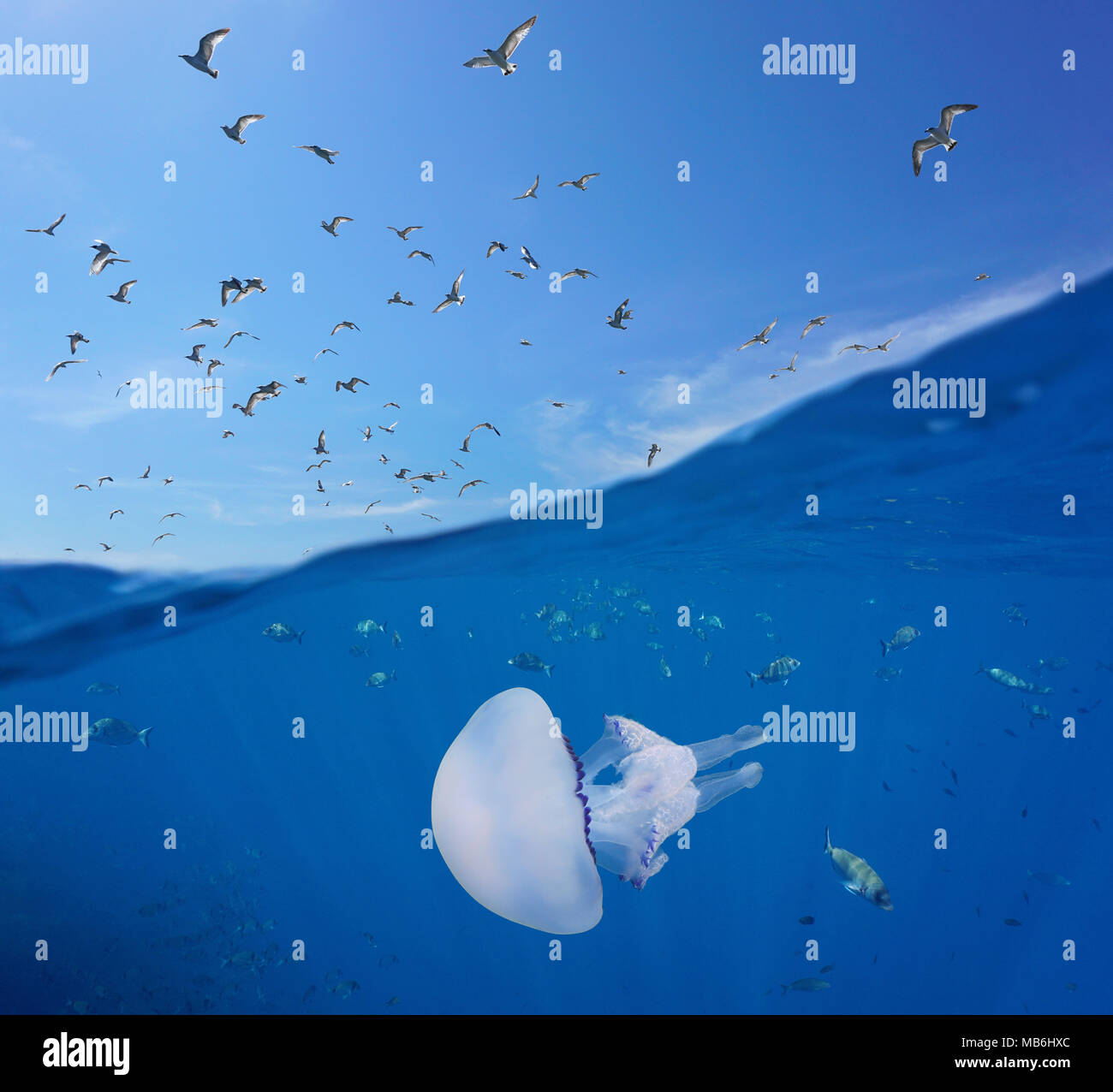 Mediterranean gulls flying in the sky and fishes with a barrel jellyfish underwater sea, split view above and below water surface, Spain, Costa Brava - Stock Image