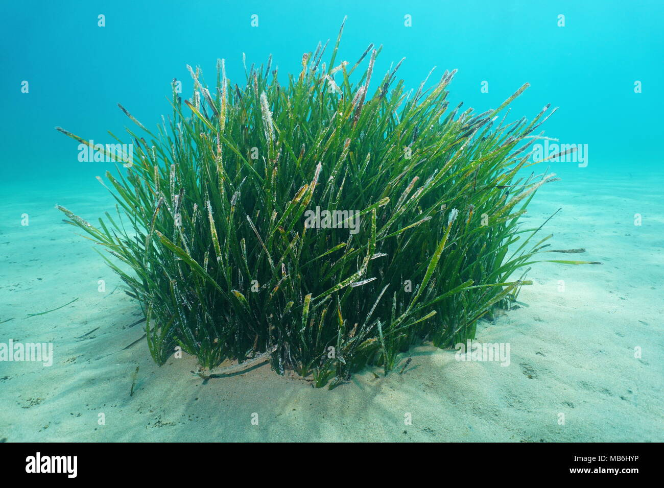 seagrass underwater a tuft of neptune grass posidonia oceanica on