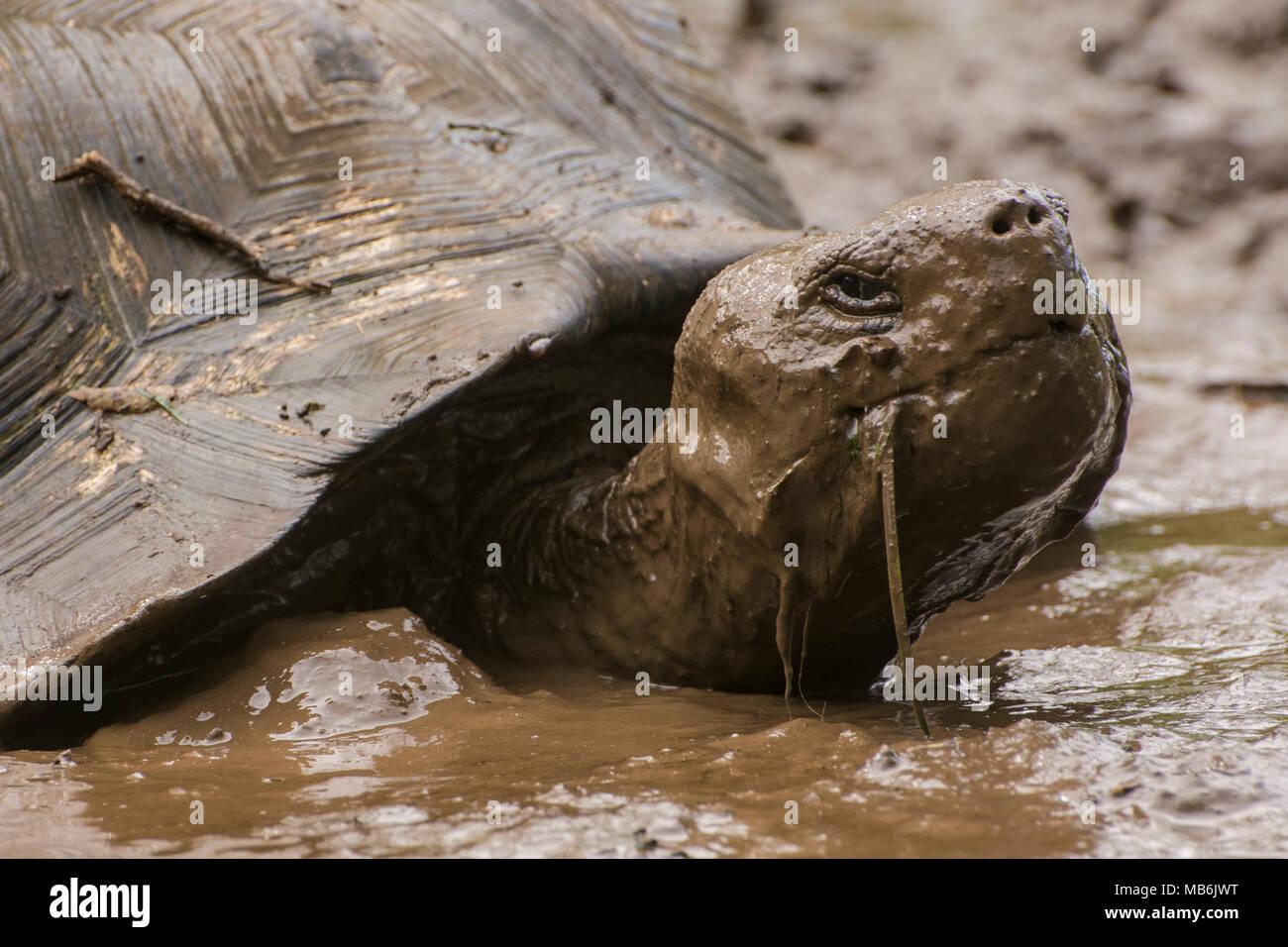 A Galapagos Giant Tortoise Chelonoidis Nigra Taking A Mud