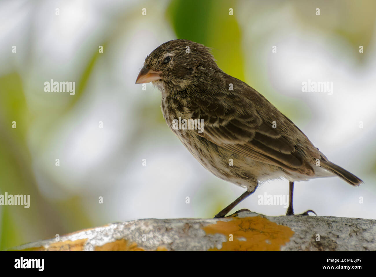 A small ground finch (Geospiza fuliginosa) a species endemic to the galapagos islands and famous as one of the bird species Darwin studied. - Stock Image