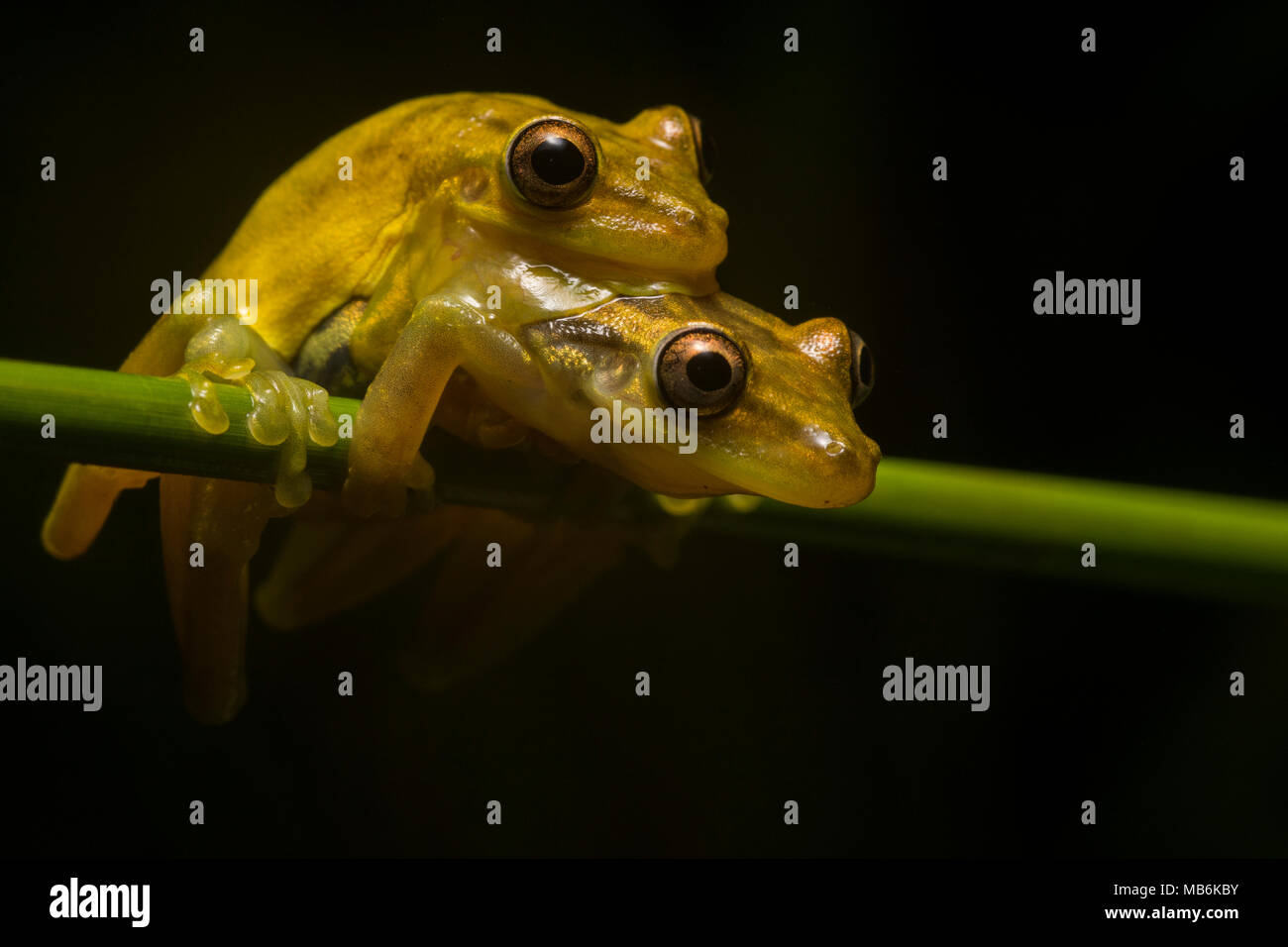 A pair of yellow snouted treefrogs (Scinax sp.) in amplexus in tropical Ecuador.  By morning these two will have deposited their eggs in the water. - Stock Image