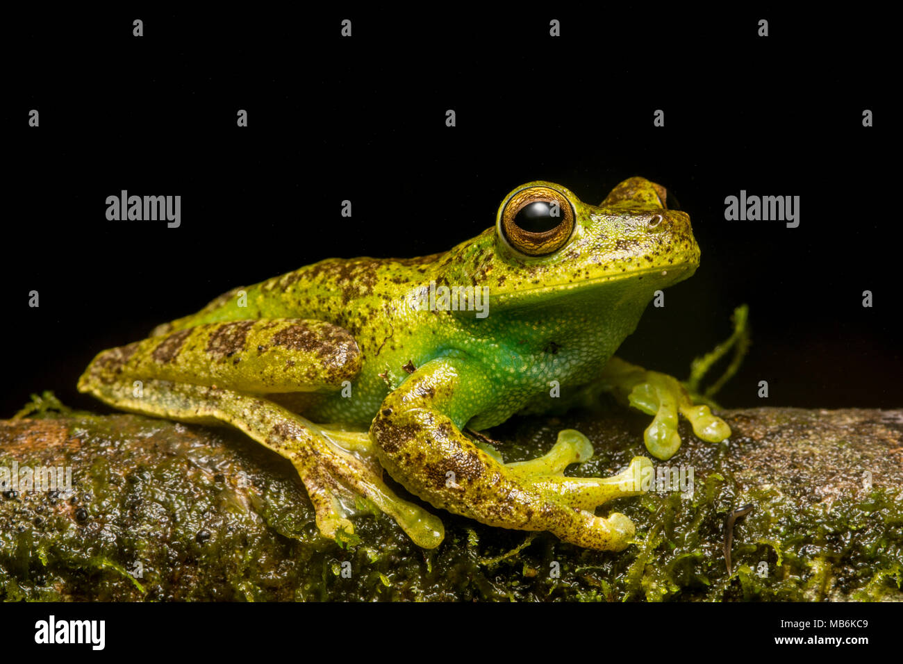 A Palmar Treefrog (Hypsiboas pellucens) from the Ecuadorian Andes, this species is also found in Colombia. It is a beautiful and elusive species. - Stock Image