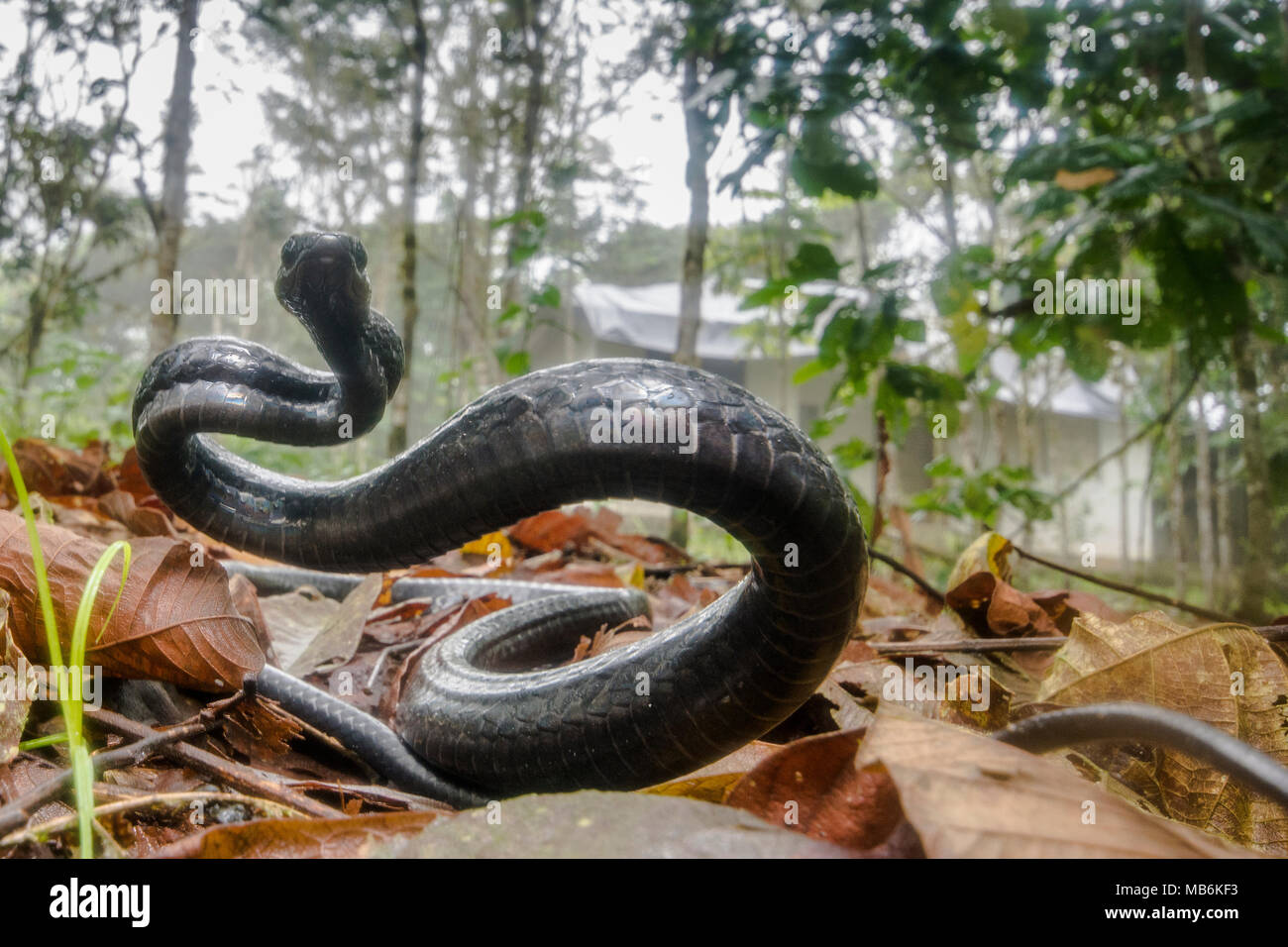 Angry Chonta snake (Chironius grandisquamus) showing that it is unhappy with the attention and acting aggressively to scare the photographer. - Stock Image