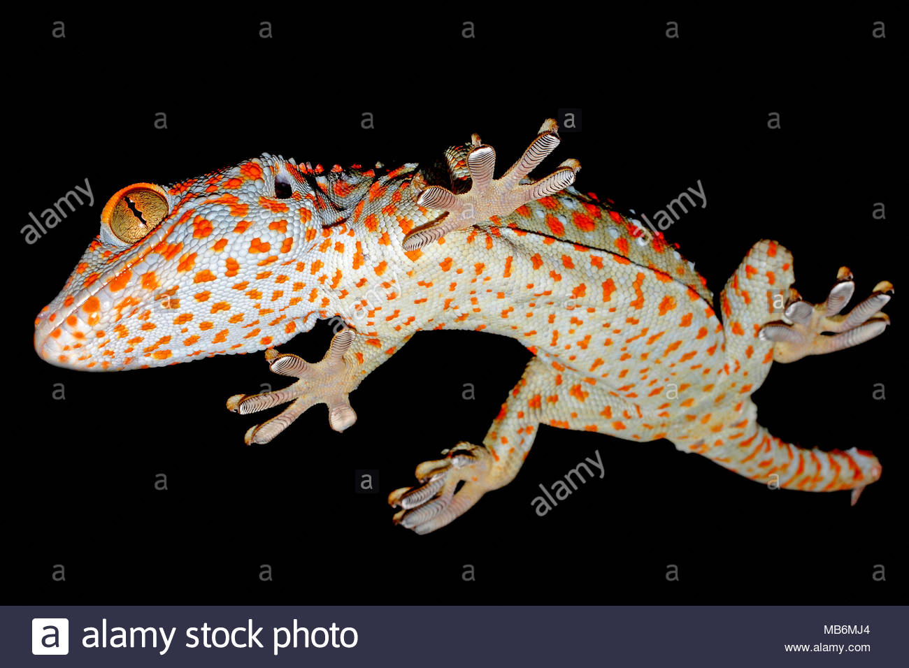 Tokay Gecko (Gekko gecko), perfect adhesion, walking head first on a glas panel, Sabang beach, Mindoro, Philippines, Asia - Stock Image