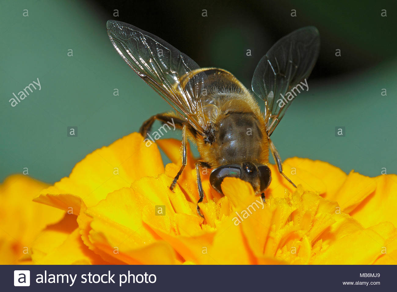 European Honey Bee, Western Honey Bee (Apis mellifera, Apis mellifica), collecting nectar of a blossom, Germany, Europe - Stock Image