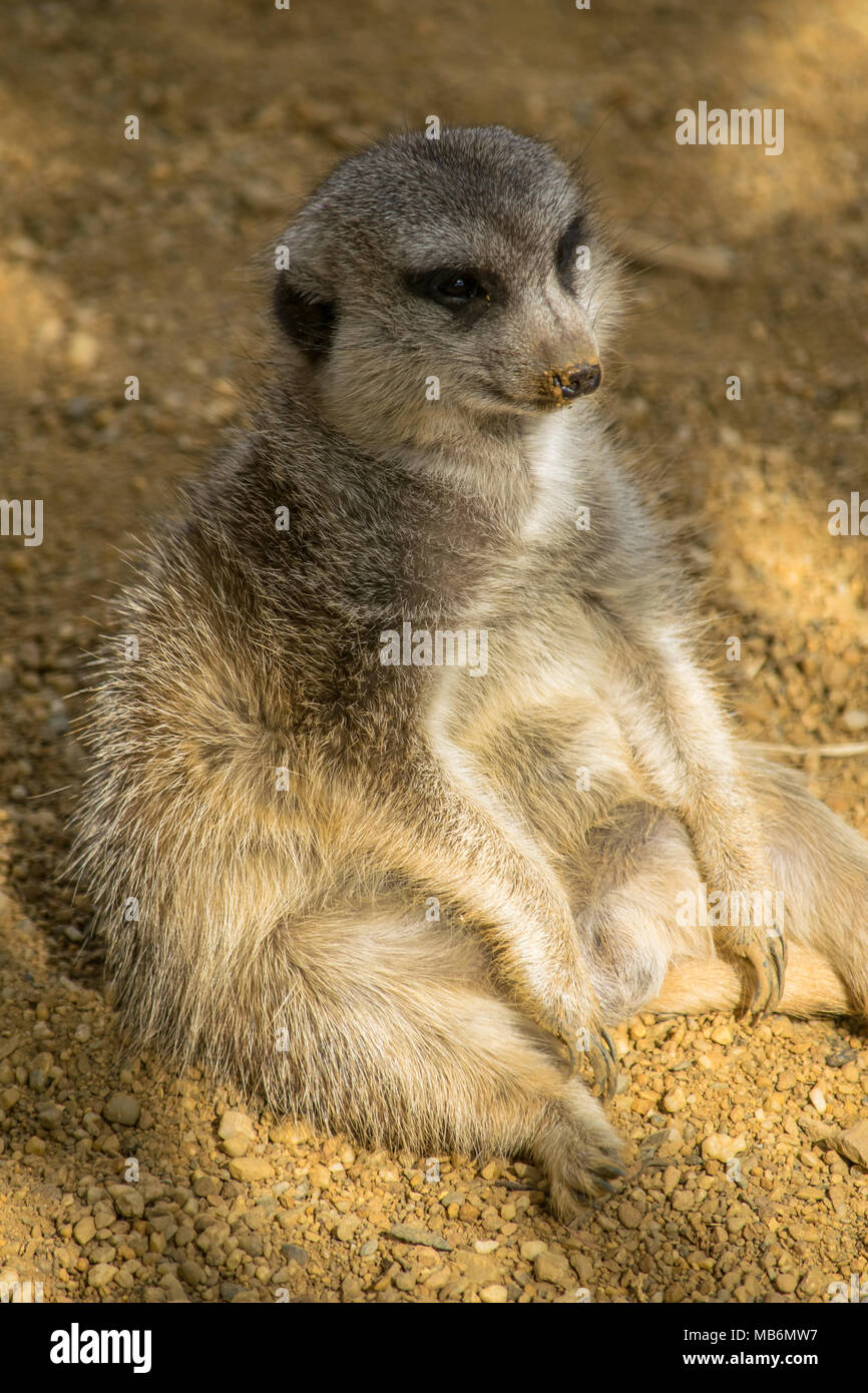 a fat Meerkat sitting in the shade relaxing like a person - Stock Image