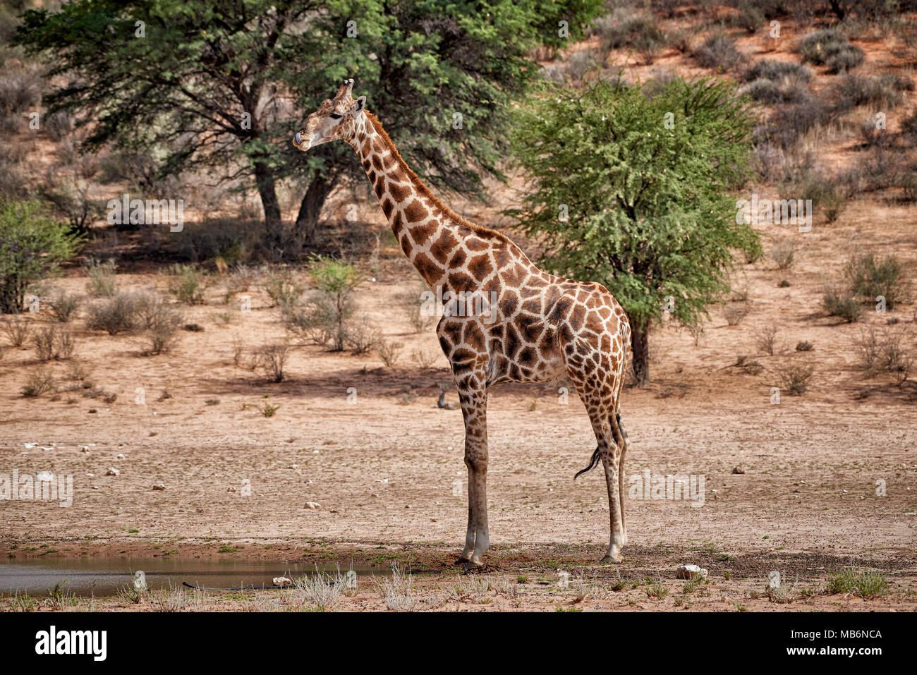 giraffe [Giraffa camelopardalis] in Kgalagadi Transfrontier Park, South Africa, Africa - Stock Image
