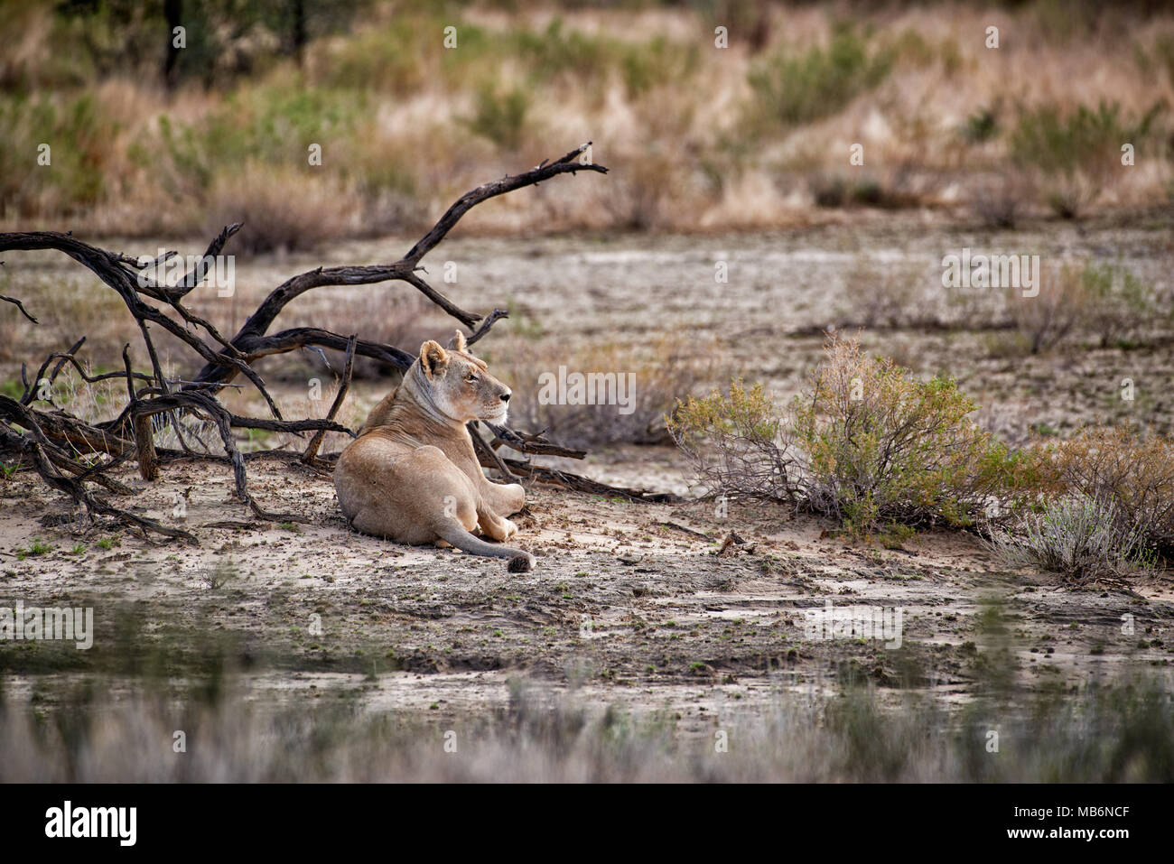 lioness, Panthera leo, watching the area, Kgalagadi Transfrontier Park, South Africa, Africa - Stock Image