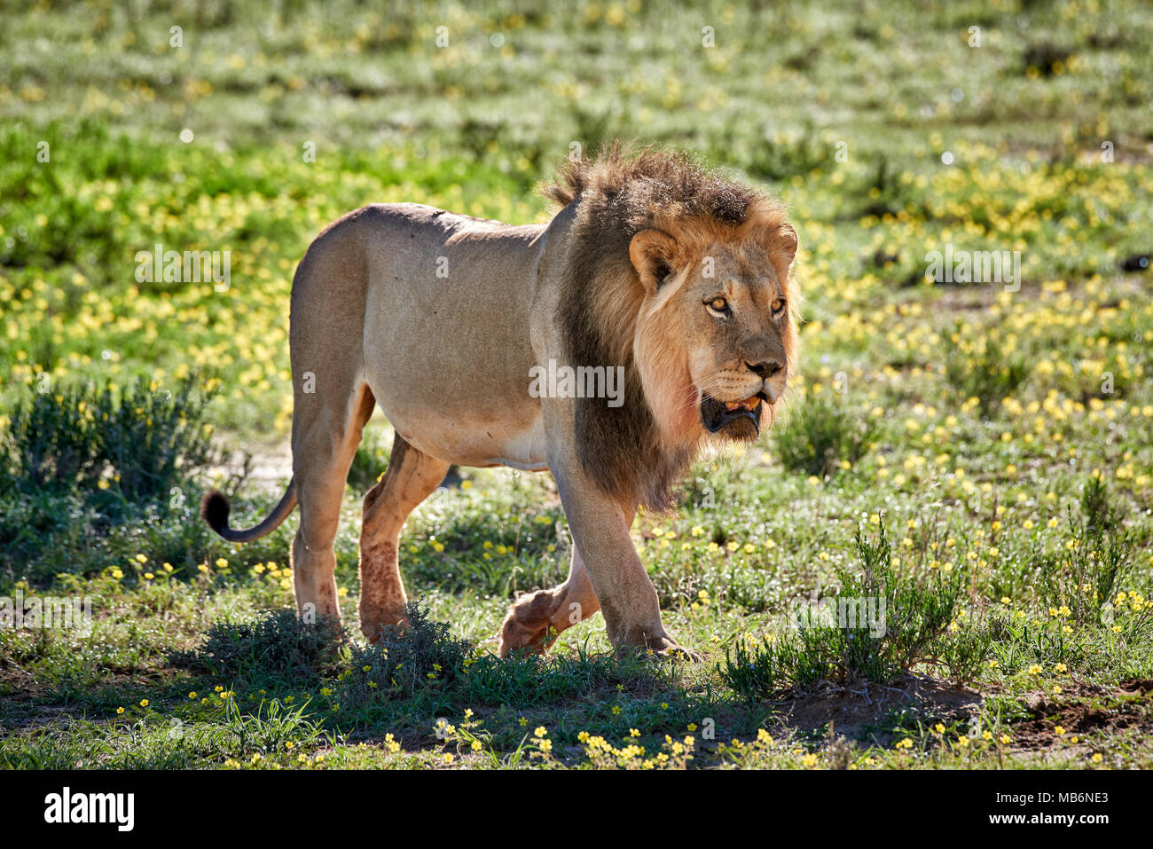 male lion patroling its territory, Panthera leo, Kgalagadi Transfrontier Park, South Africa, Africa - Stock Image