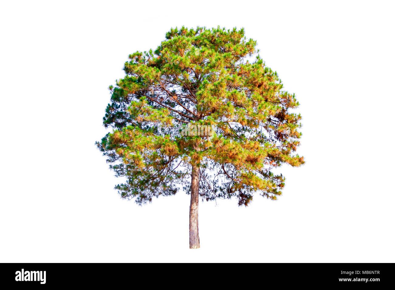 Pine tree isolated on white background. - Stock Image