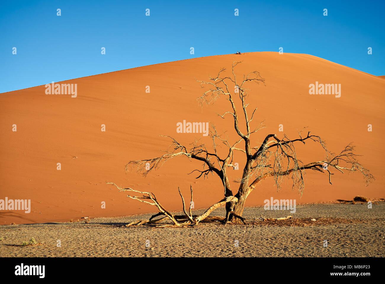 tree with dune 45, desert landscape of Namib - Stock Image