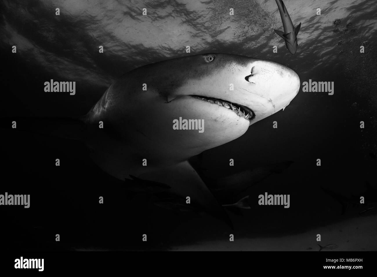 Lemon shark around the Bahamas in Tiger Beach Stock Photo