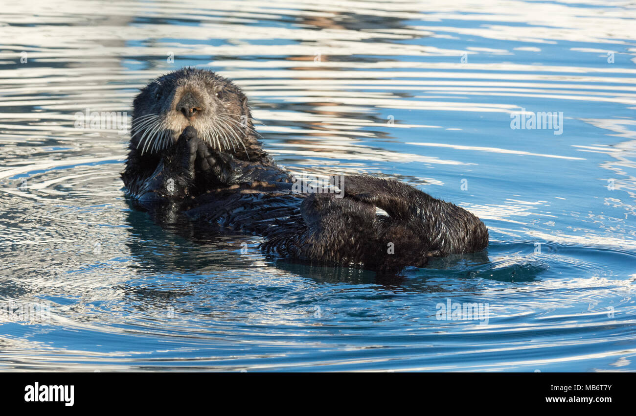 A Sea Otter Has It Hands Folded In Prayer While Rubbing It Feet