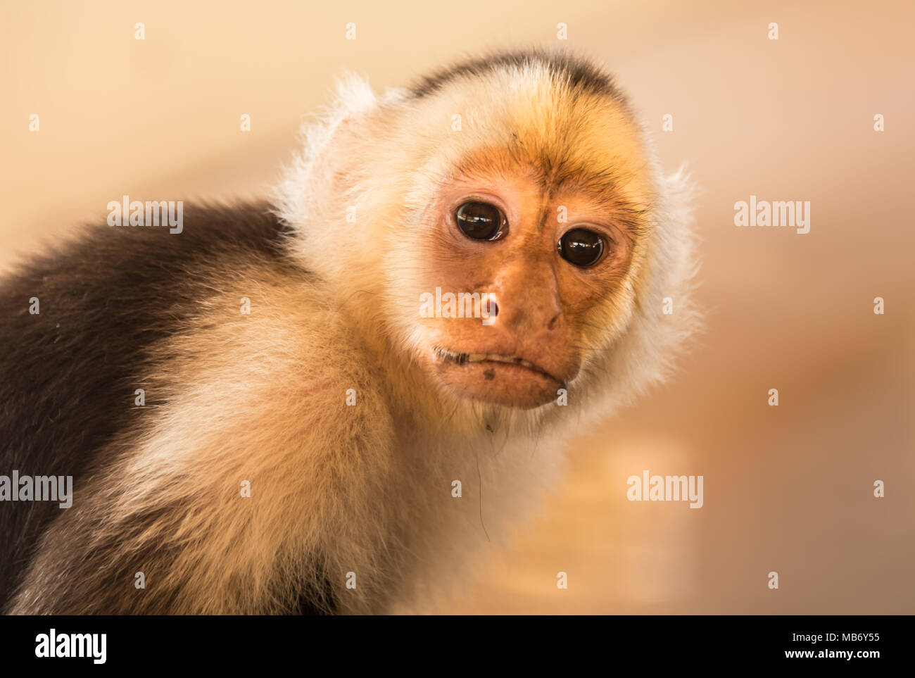 Cute Capuchin Monkey Looking At Camera Stock Photo
