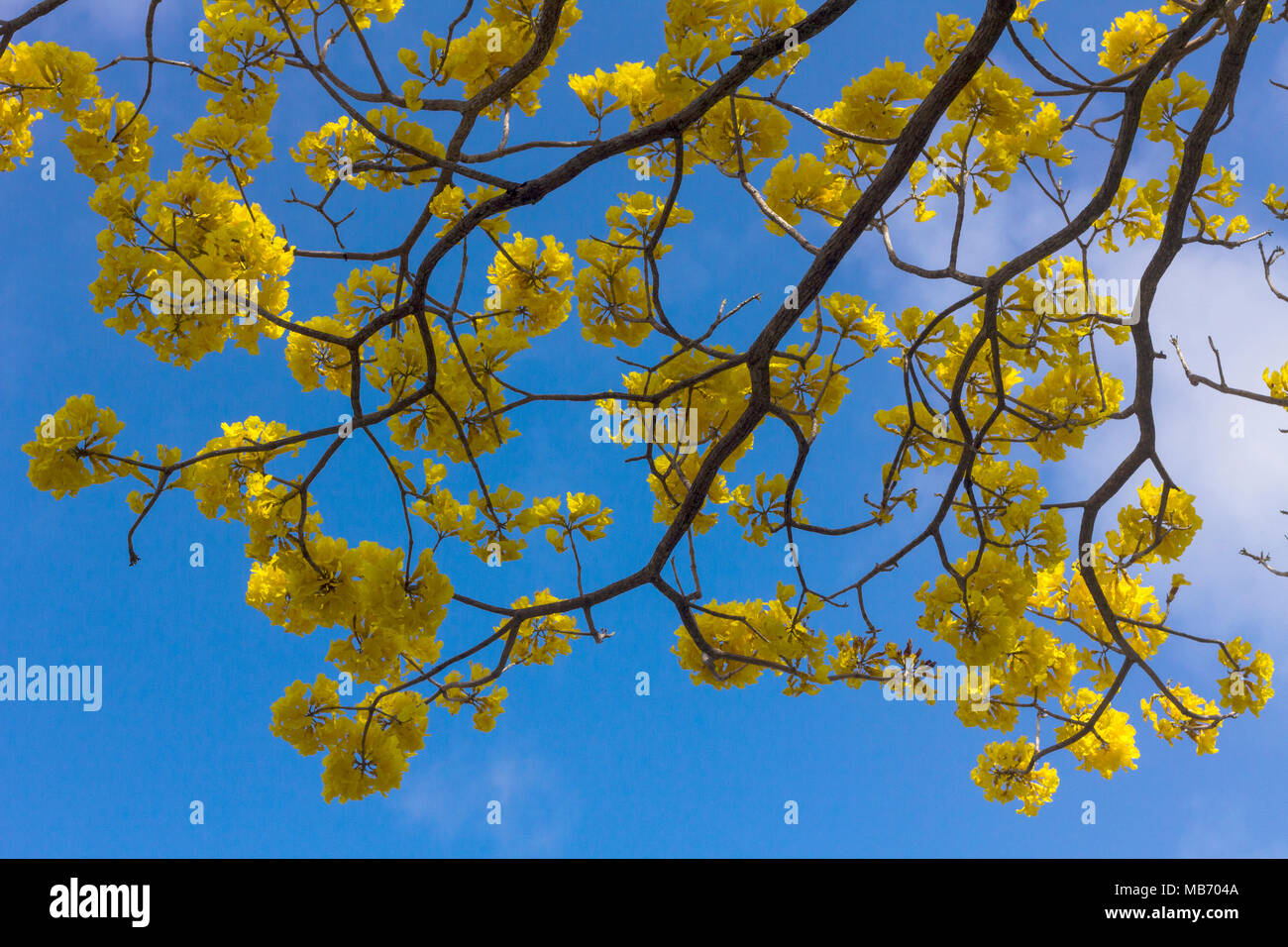 Beautiful Yellow Flowering Tree The Guayacan Tree With Large