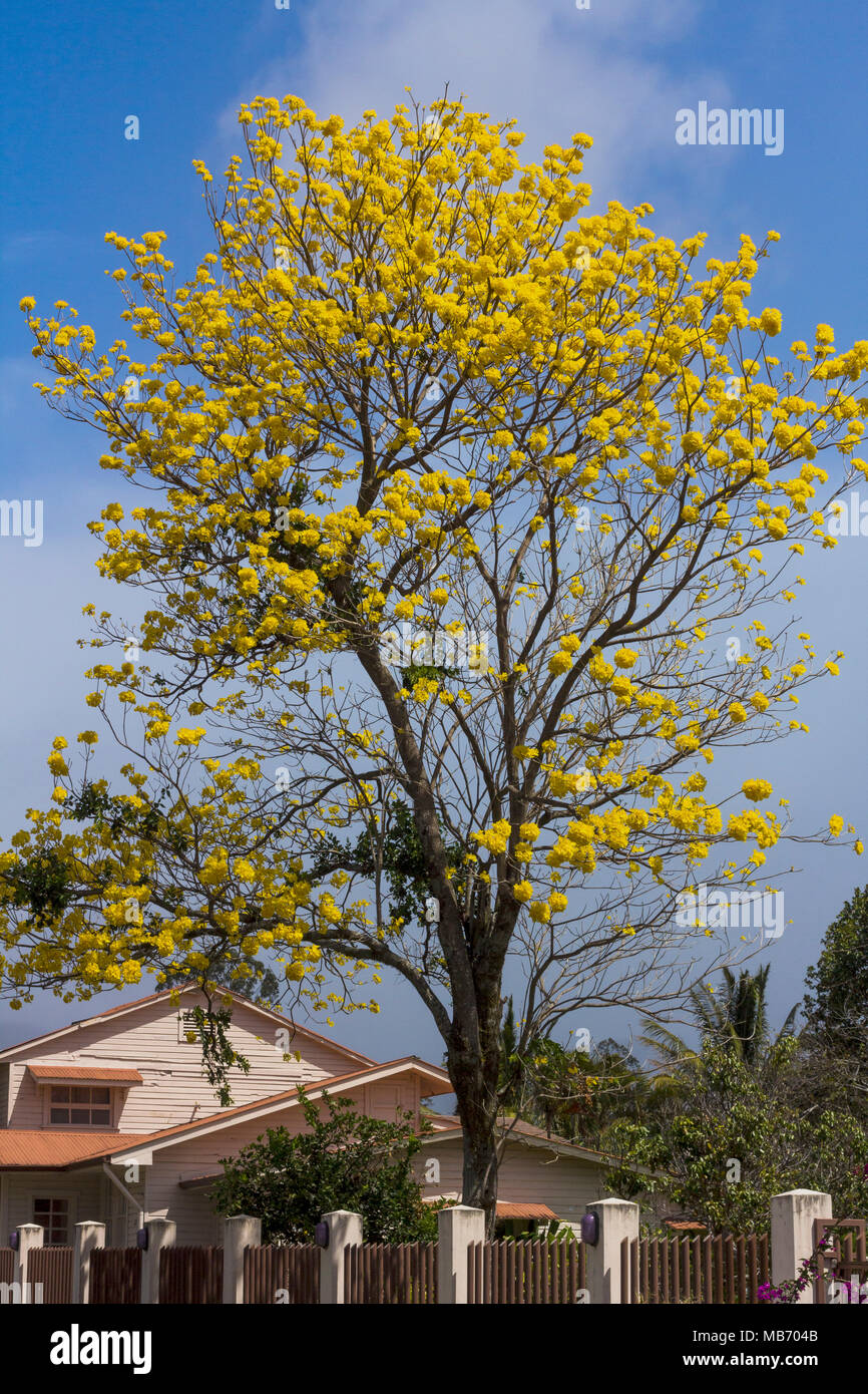 Beautiful yellow flowering tree the guayacan tree with large beautiful yellow flowering tree the guayacan tree with large bunches of big yellow blossoms in boquete panama mightylinksfo