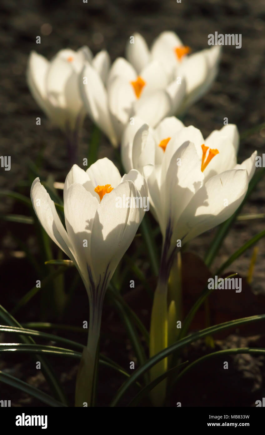 White Crocuses Growing On The Ground In Early Spring First Spring