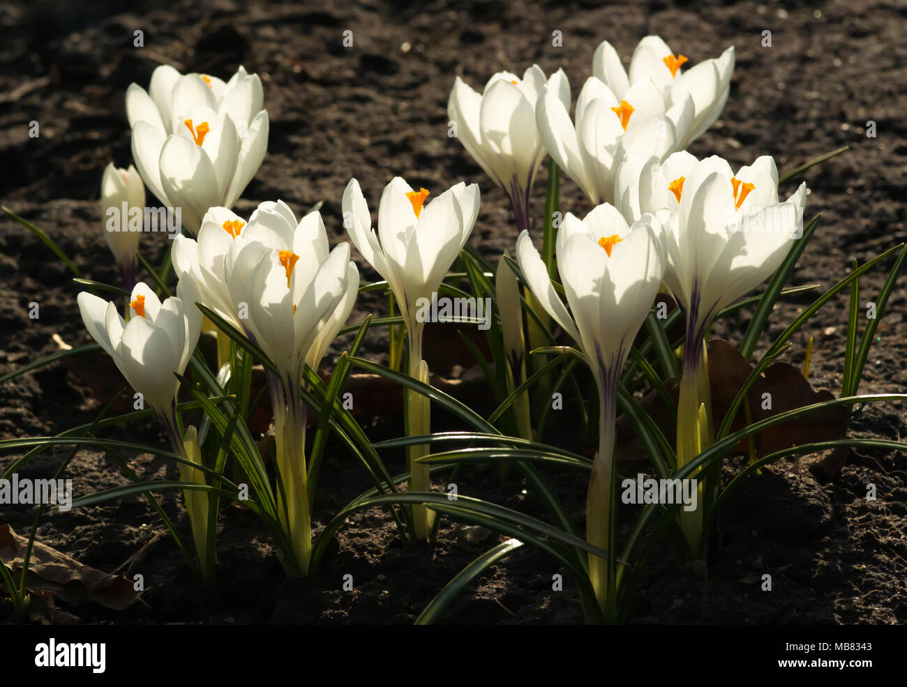 White crocuses growing on the ground in early spring first spring white crocuses growing on the ground in early spring first spring flowers blooming in garden spring meadow full of white crocuses bunch of crocuses mightylinksfo