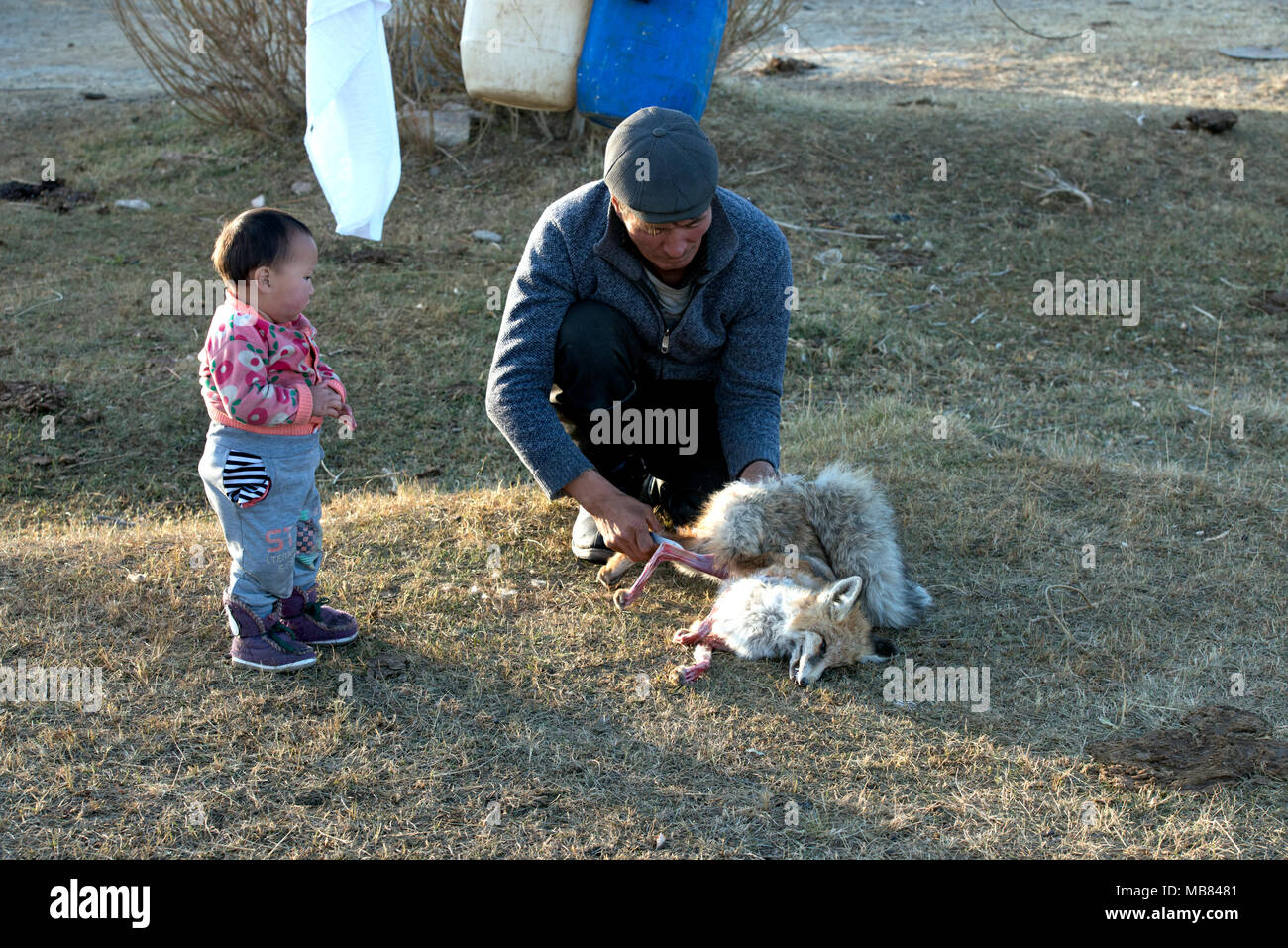 A Kazakh man skins a fox caught by a golden eagle as his young daughter watches intently. - Stock Image