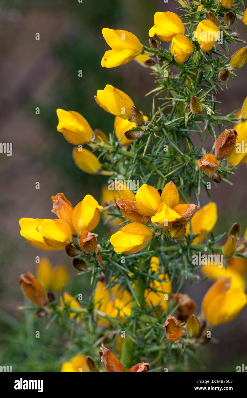 The Bright Yellow Flowers Of A Gorse Bush In Early Spring Wild
