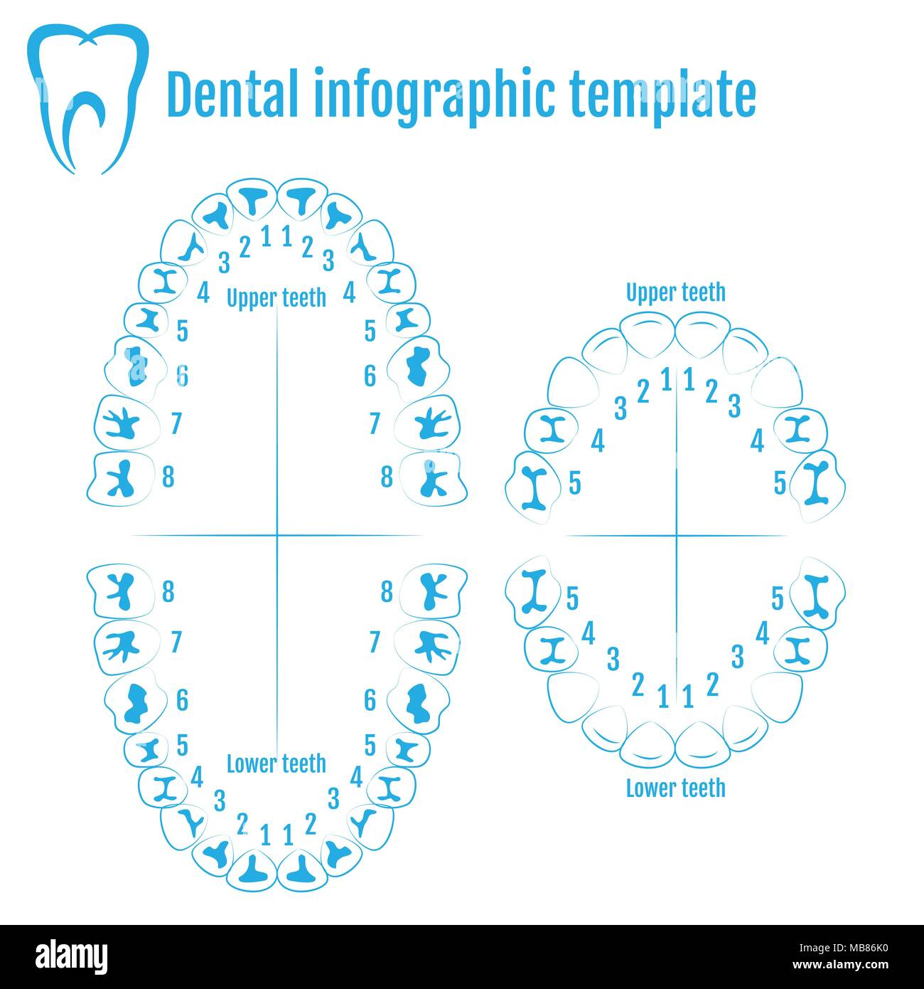 Orthodontist Human Tooth Anatomy Vector With Numbering Of Teeth Of