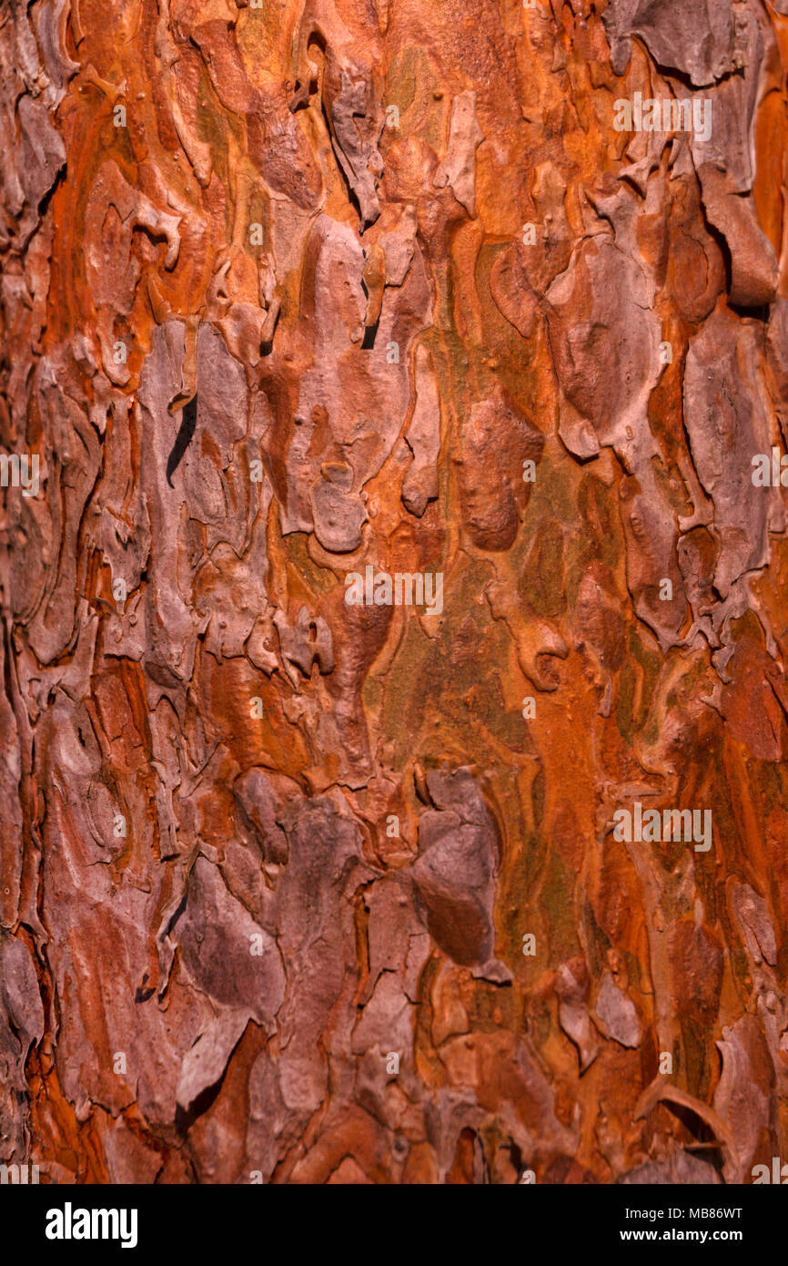 background, texture - amber-red scaly pine bark lit by the sun - Stock Image