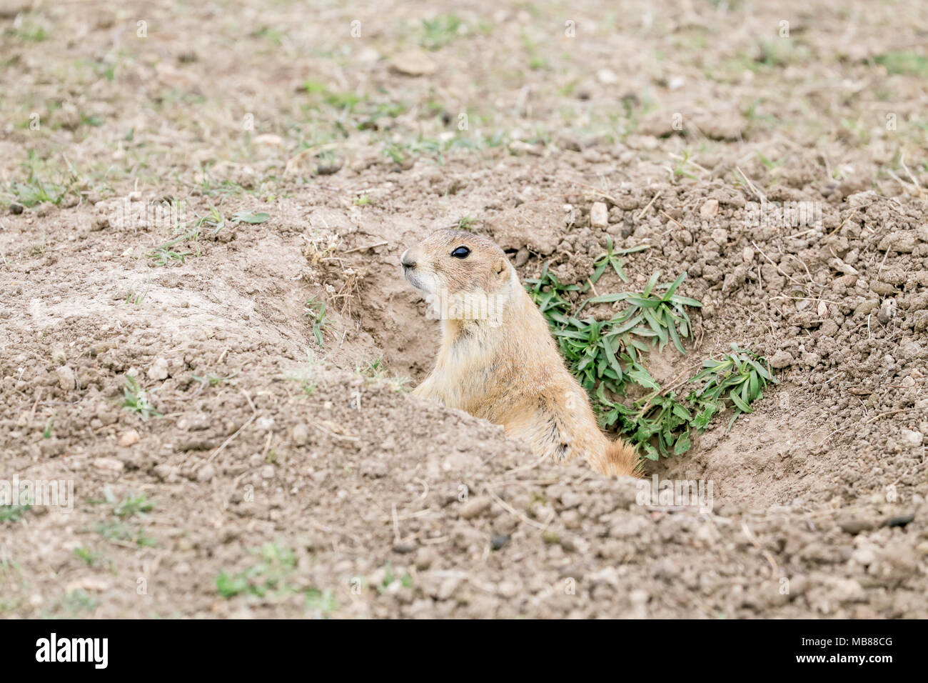 A Prarie Dog is peaking out of his whole watching me. - Stock Image