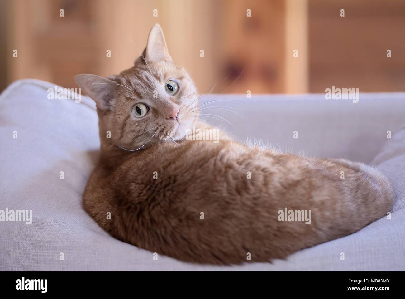 Orange tabby cat lying down on sofa cushion looking at camera. - Stock Image