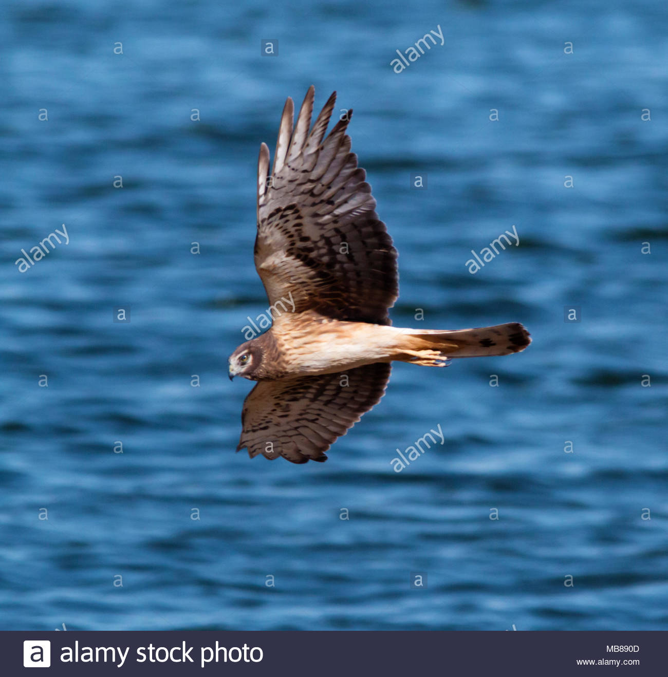 Northern Harrier, Circus cyaneus, female, Marsh hawk, flying in Arizona, USA Stock Photo