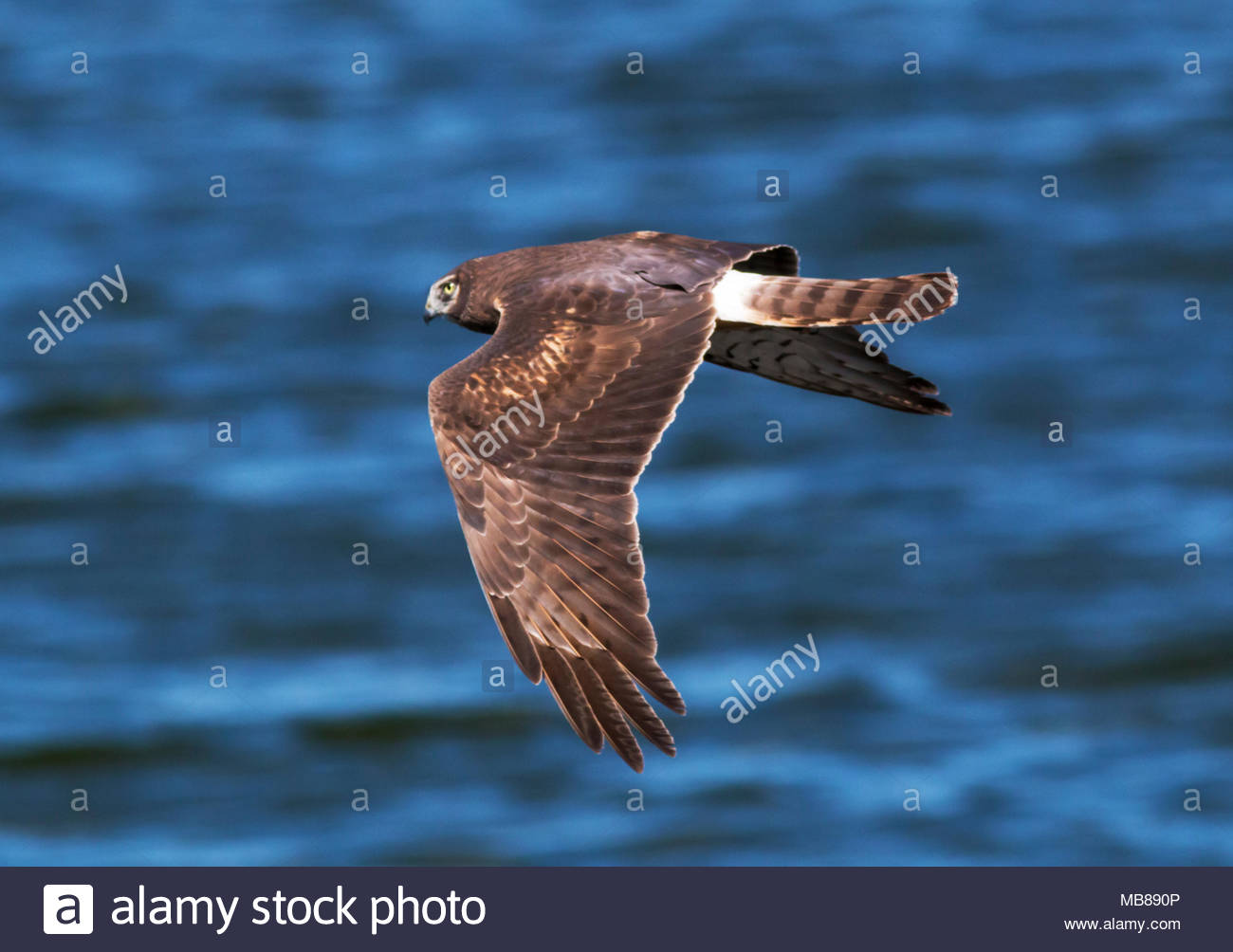 northern-harrier-circus-cyaneus-female-marsh-hawk-flying-in-arizona-usa-MB890P.jpg