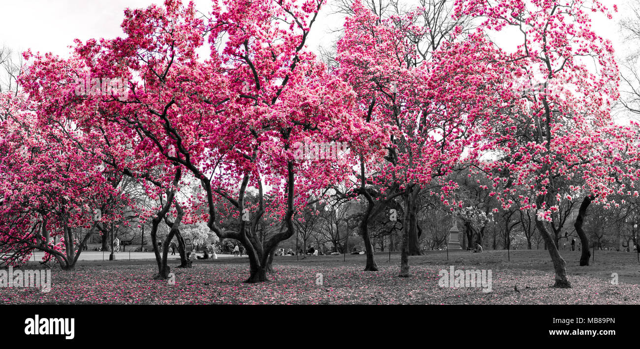 Surreal forest fantasy landscape with pink trees in a black and white cityscape in Central Park, New York City - Stock Image