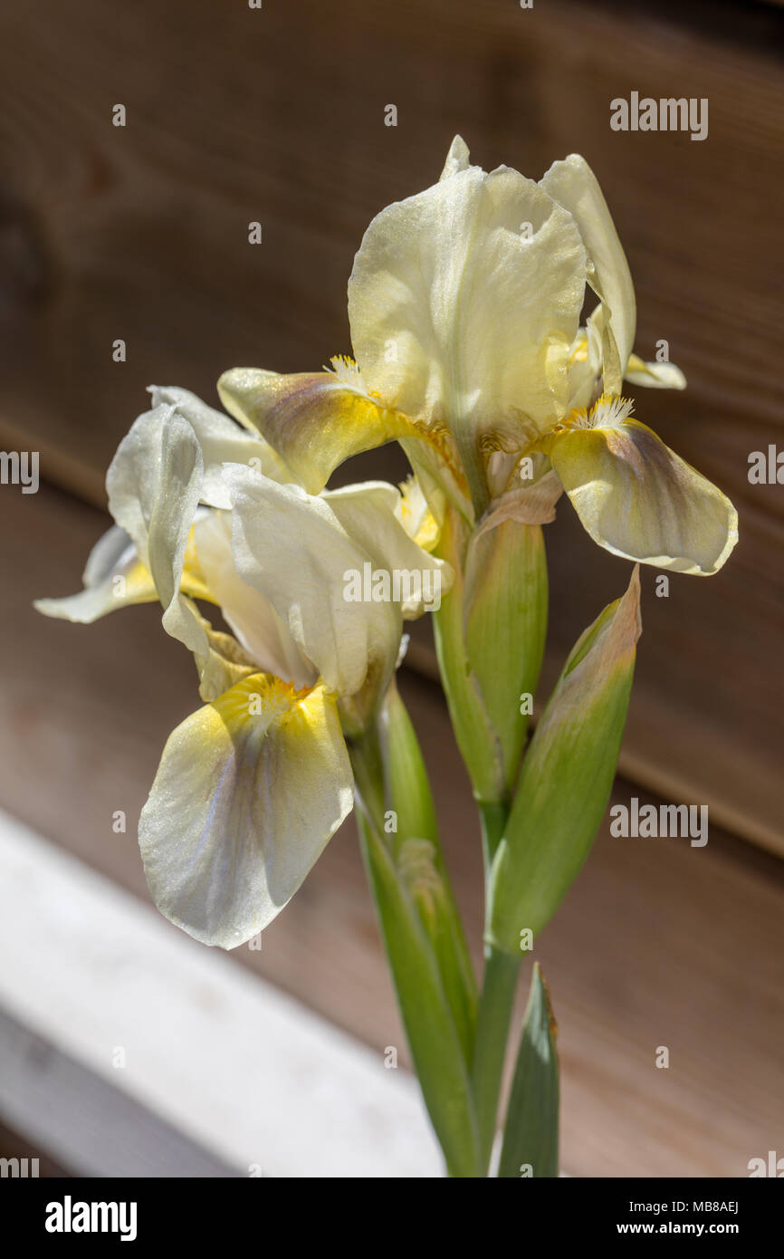 'Green Little' Dwarf Iris, Dvärgiris (Iris pumila) - Stock Image