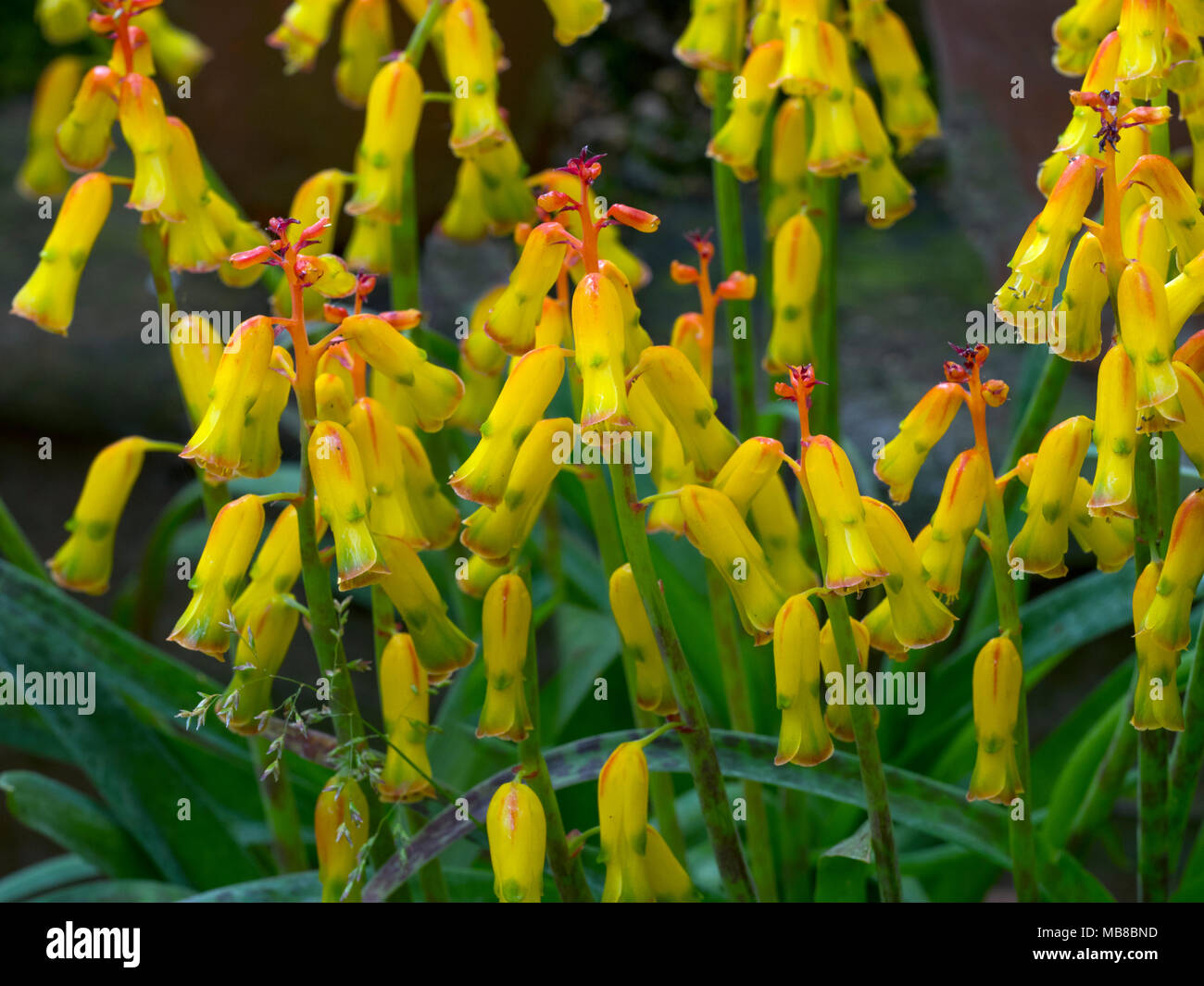is a species of flowering plant in the family Asparagaceae - Stock Image