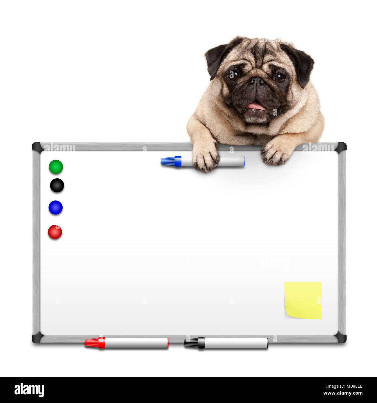 cute pug puppy dog hanging with paws on blank marke  white board with markers and magnets, isolated on white background Stock Photo